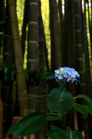 竹林のアジサイ