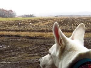 タンチョウを見る盲導犬
