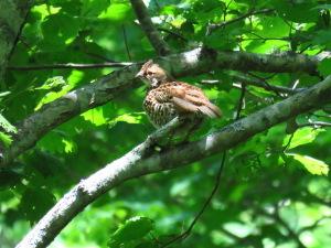幼鳥のエゾライチョウ