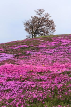 津別・双子の桜&芝桜