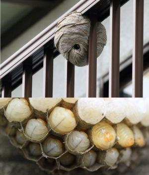 クロスズメバチの巣